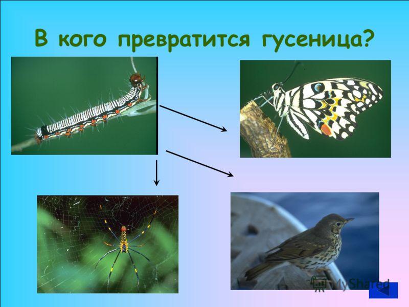 В кого превратится гусеница?