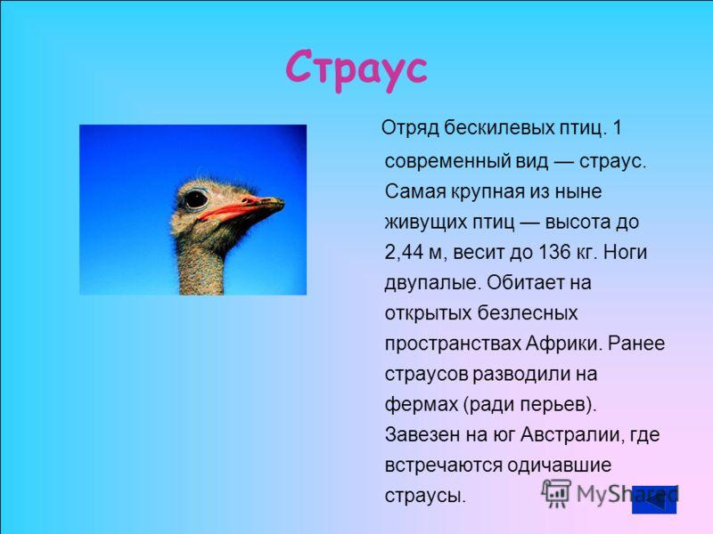 Страус Отряд бескилевых птиц. 1 современный вид страус. Самая крупная из ныне живущих птиц высота до 2,44 м, весит до 136 кг. Ноги двупалые. Обитает на открытых безлесных пространствах Африки. Ранее страусов разводили на фермах (ради перьев). Завезен