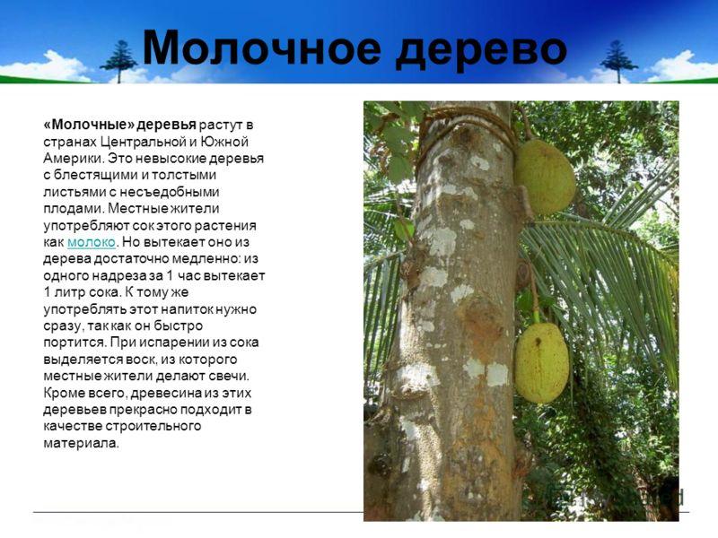 Молочное дерево «Молочные» деревья растут в странах Центральной и Южной Америки. Это невысокие деревья с блестящими и толстыми листьями с несъедобными плодами. Местные жители употребляют сок этого растения как молоко. Но вытекает оно из дерева достат