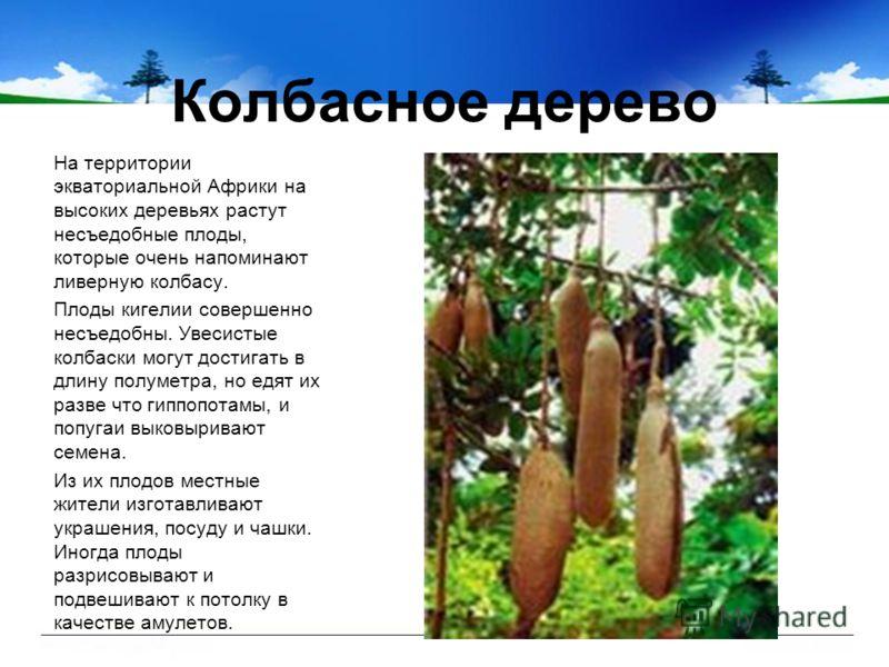Колбасное дерево На территории экваториальной Африки на высоких деревьях растут несъедобные плоды, которые очень напоминают ливерную колбасу. Плоды кигелии совершенно несъедобны. Увесистые колбаски могут достигать в длину полуметра, но едят их разве