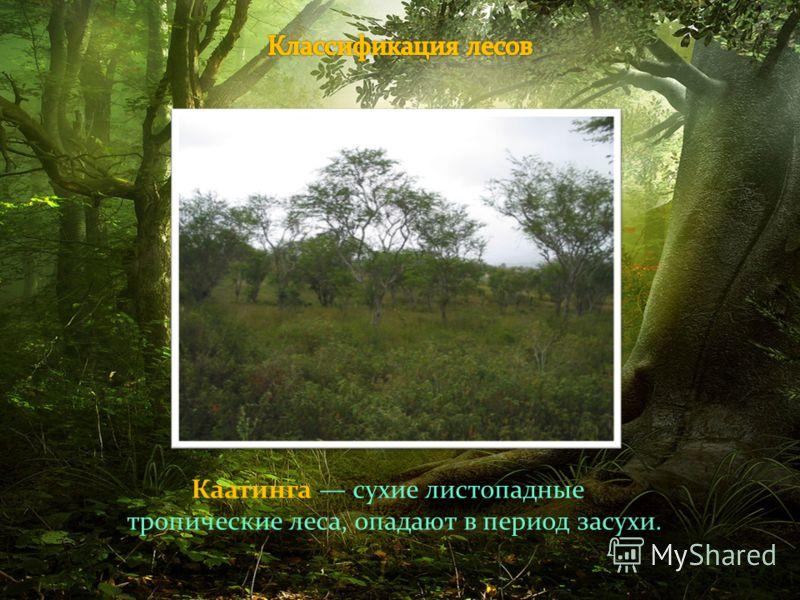 Каатинга сухие листопадные тропические леса, опадают в период засухи.
