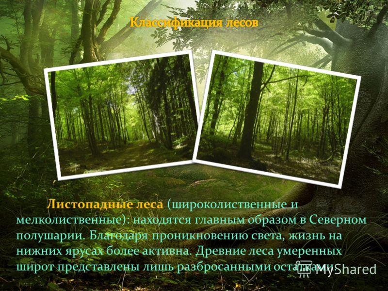 Листопадные леса (широколиственные и мелколиственные): находятся главным образом в Северном полушарии. Благодаря проникновению света, жизнь на нижних ярусах более активна. Древние леса умеренных широт представлены лишь разбросанными остатками.