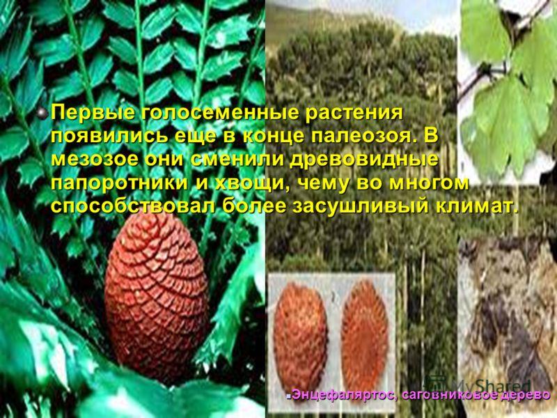 Первые голосеменные растения появились еще в конце палеозоя. В мезозое они сменили древовидные папоротники и хвощи, чему во многом способствовал более засушливый климат. Энцефаляртос, саговниковое дерево Энцефаляртос, саговниковое дерево