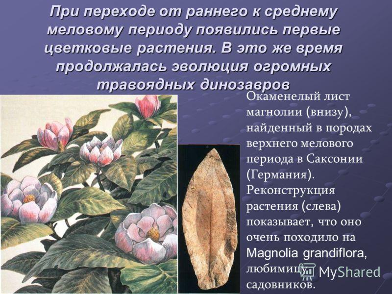 При переходе от раннего к среднему меловому периоду появились первые цветковые растения. В это же время продолжалась эволюция огромных травоядных динозавров Окаменелый лист магнолии ( внизу ), найденный в породах верхнего мелового периода в Саксонии