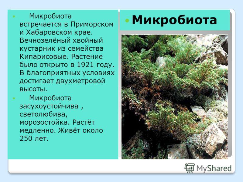 Микробиота встречается в Приморском и Хабаровском крае. Вечнозелёный хвойный кустарник из семейства Кипарисовые. Растение было открыто в 1921 году. В благоприятных условиях достигает двухметровой высоты. Микробиота засухоустойчива, светолюбива, мороз