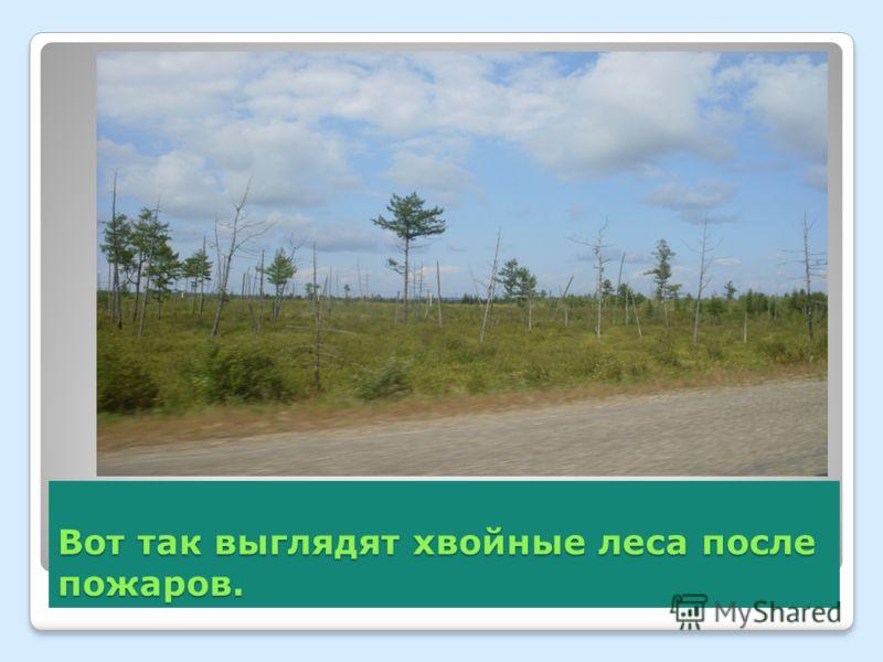 Вот так выглядят хвойные леса после пожаров.