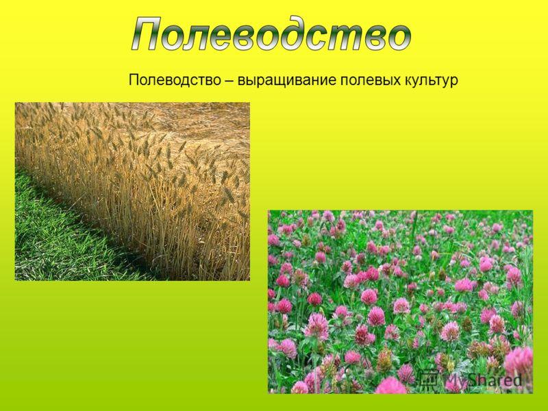 Полеводство – выращивание полевых культур