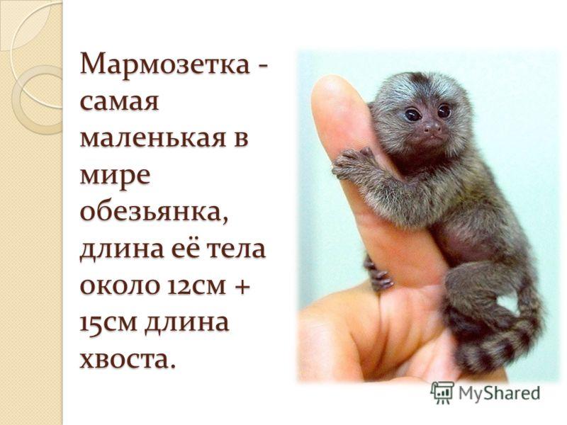 Мармозетка - самая маленькая в мире обезьянка, длина её тела около 12см + 15см длина хвоста.