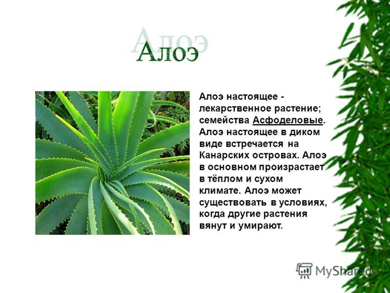 Алоэ настоящее - лекарственное растение; семейства Асфоделовые. Алоэ настоящее в диком виде встречается на Канарских островах. Алоэ в основном произрастает в тёплом и сухом климате. Алоэ может существовать в условиях, когда другие растения вянут и ум