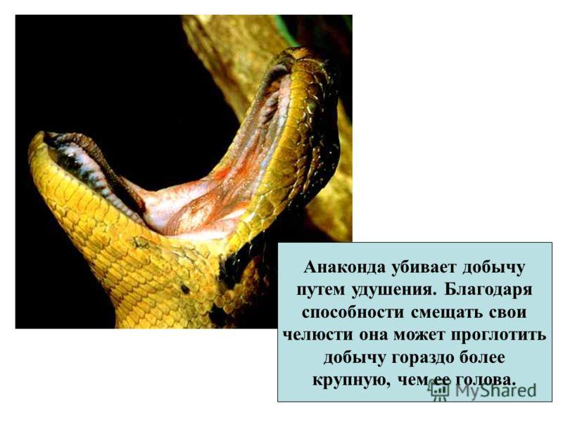 Анаконда убивает добычу путем удушения. Благодаря способности смещать свои челюсти она может проглотить добычу гораздо более крупную, чем ее голова.