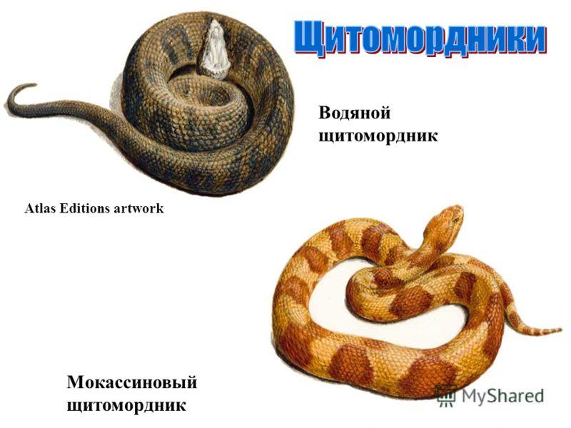 Мокассиновый щитомордник Водяной щитомордник Atlas Editions artwork