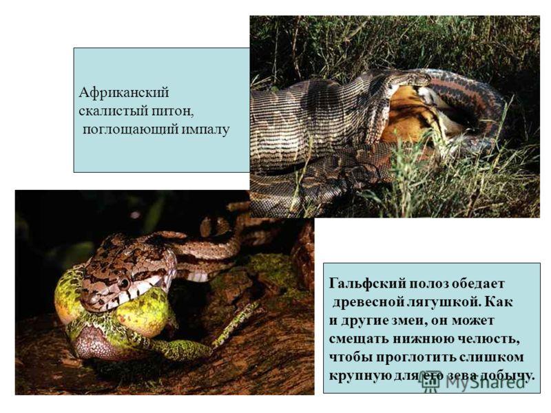 Гальфский полоз обедает древесной лягушкой. Как и другие змеи, он может смещать нижнюю челюсть, чтобы проглотить слишком крупную для его зева добычу. Африканский скалистый питон, поглощающий импалу
