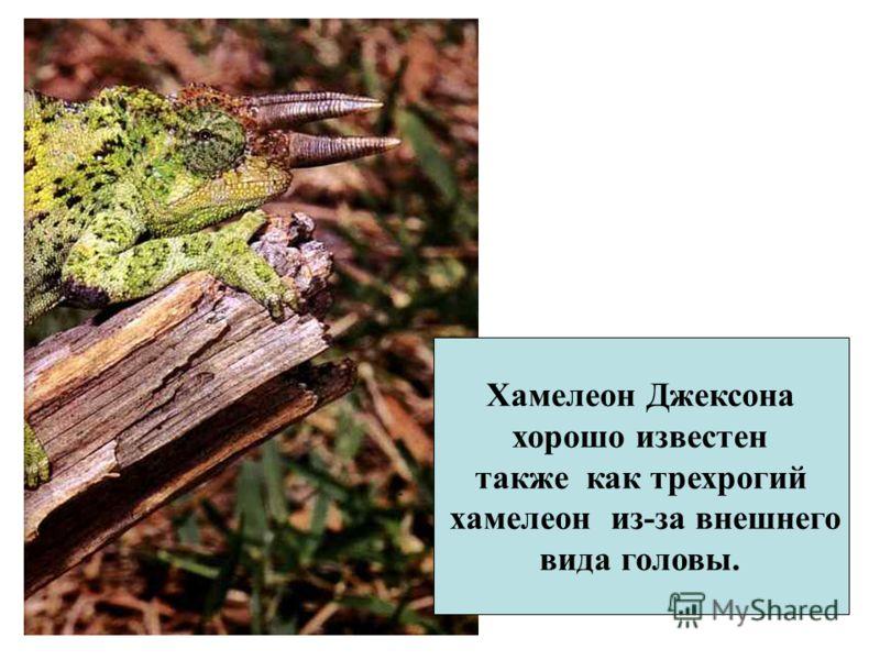 Хамелеон Джексона хорошо известен также как трехрогий хамелеон из-за внешнего вида головы.