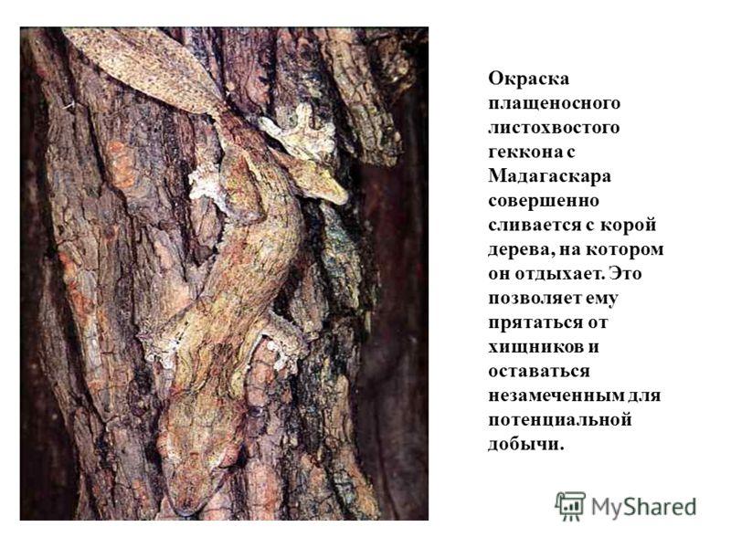 Окраска плащеносного листохвостого геккона с Мадагаскара совершенно сливается с корой дерева, на котором он отдыхает. Это позволяет ему прятаться от хищников и оставаться незамеченным для потенциальной добычи.
