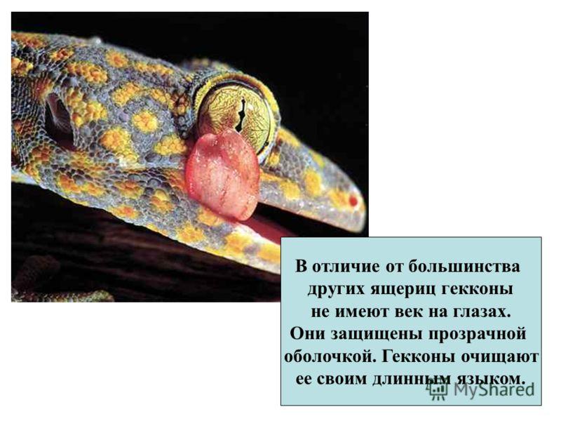 В отличие от большинства других ящериц гекконы не имеют век на глазах. Они защищены прозрачной оболочкой. Гекконы очищают ее своим длинным языком.