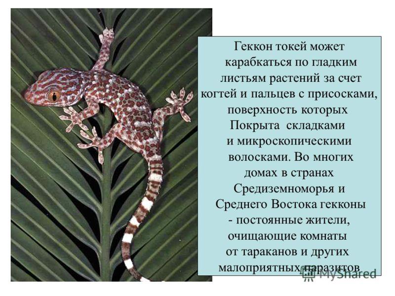 Геккон токей может карабкаться по гладким листьям растений за счет когтей и пальцев с присосками, поверхность которых Покрыта складками и микроскопическими волосками. Во многих домах в странах Средиземноморья и Среднего Востока гекконы - постоянные ж
