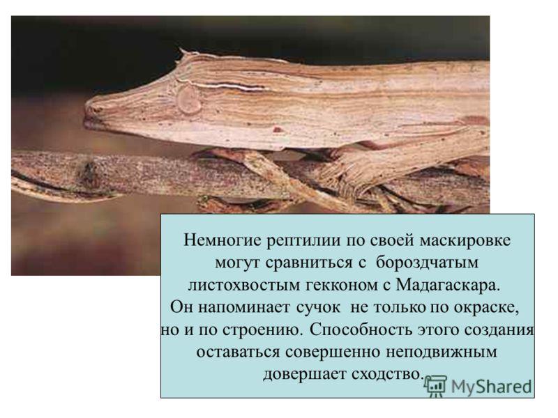 Немногие рептилии по своей маскировке могут сравниться с бороздчатым листохвостым гекконом с Мадагаскара. Он напоминает сучок не только по окраске, но и по строению. Способность этого создания оставаться совершенно неподвижным довершает сходство.