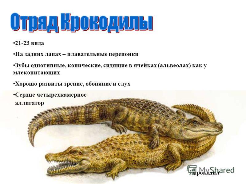 крокодил аллигатор 21-23 вида На задних лапах – плавательные перепонки Зубы однотипные, конические, сидящие в ячейках (альвеолах) как у млекопитающих Хорошо развиты зрение, обоняние и слух Сердце четырехкамерное