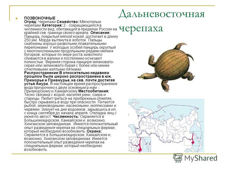 Дальневосточная черепаха ПОЗВОНОЧНЫЕ Отряд: Черепахи.Семейство: Мягкотелые черепахи.Категория: 2 - сокращающийся в численности вид, обитающий в пределах России на крайней сев. границе своего ареала. Описание: Панцирь, покрытый мягкой кожей, достигает