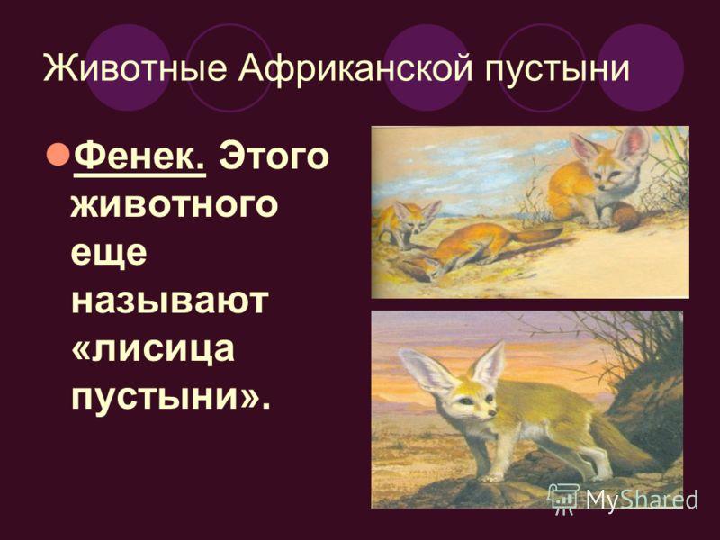 Животные Африканской пустыни Фенек. Этого животного еще называют «лисица пустыни».