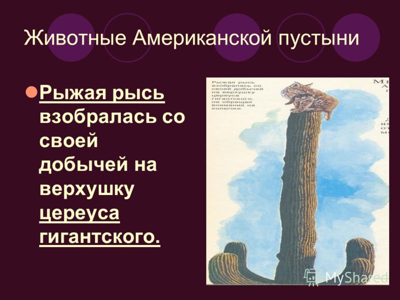 Рыжая рысь взобралась со своей добычей на верхушку цереуса гигантского. Животные Американской пустыни