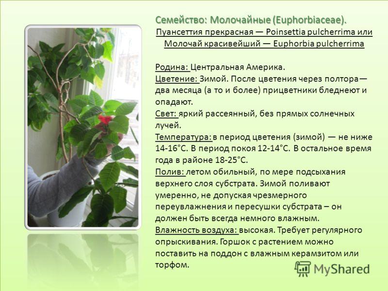 Семейство: Молочайные (Euphorbiaceae). Пуансеттия прекрасная Poinsettia pulcherrima или Mолочай красивейший Euphorbia pulcherrima Родина: Центральная Америка. Цветение: Зимой. После цветения через полтора два месяца (а то и более) прицветники бледнею