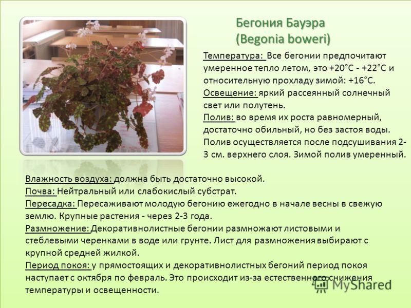 Бегония Бауэра (Begonia boweri) Температура: Все бегонии предпочитают умеренное тепло летом, это +20°С - +22°С и относительную прохладу зимой: +16°С. Освещение: яркий рассеянный солнечный свет или полутень. Полив: во время их роста равномерный, доста