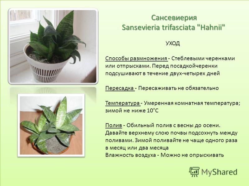 Сансевиерия Sansevieria trifasciata