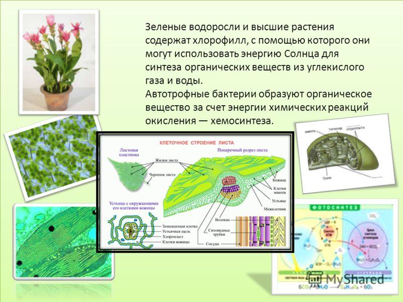 Зеленые водоросли и высшие растения содержат хлорофилл, с помощью которого они могут использовать энергию Солнца для синтеза органических веществ из углекислого газа и воды. Автотрофные бактерии образуют органическое вещество за счет энергии химическ