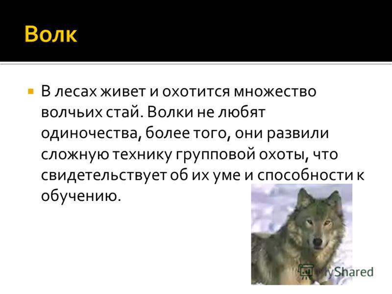 В лесах живет и охотится множество волчьих стай. Волки не любят одиночества, более того, они развили сложную технику групповой охоты, что свидетельствует об их уме и способности к обучению.