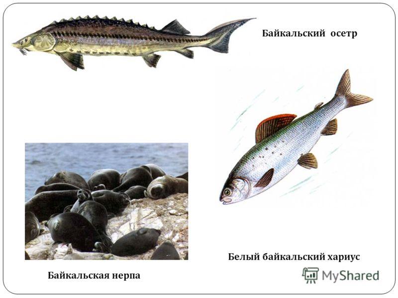 Байкальская нерпа Байкальский осетр Белый байкальский хариус