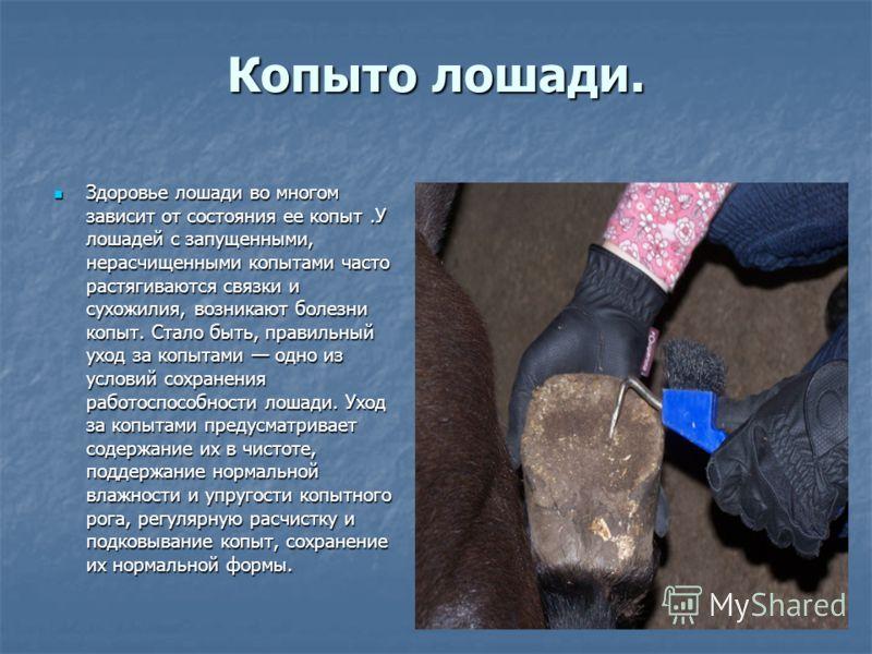 Копыто лошади. Здоровье лошади во многом зависит от состояния ее копыт.У лошадей с запущенными, нерасчищенными копытами часто растягиваются связки и сухожилия, возникают болезни копыт. Стало быть, правильный уход за копытами одно из условий сохранени