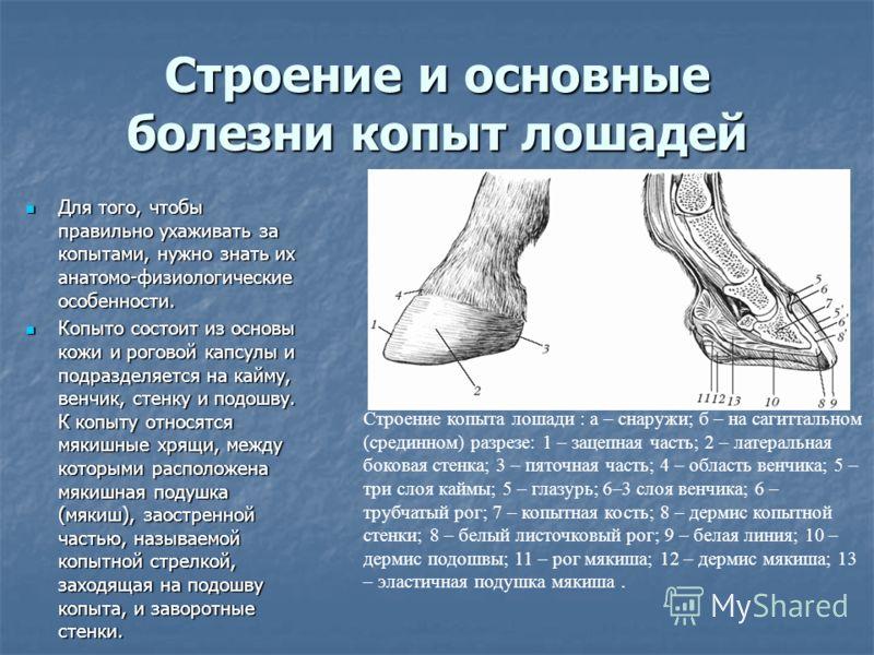 Строение и основные болезни копыт лошадей Для того, чтобы правильно ухаживать за копытами, нужно знать их анатомо-физиологические особенности. Для того, чтобы правильно ухаживать за копытами, нужно знать их анатомо-физиологические особенности. Копыто
