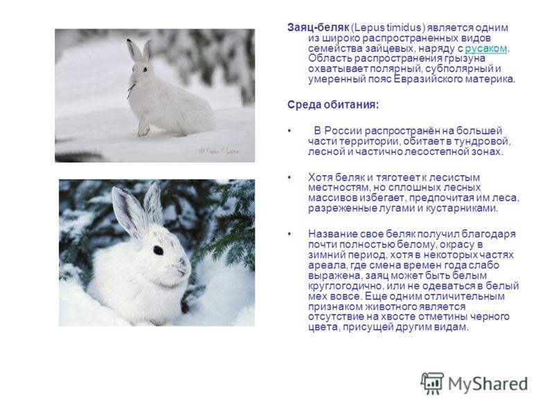 Заяц-беляк (Lepus timidus) является одним из широко распространенных видов семейства зайцевых, наряду с русаком. Область распространения грызуна охватывает полярный, субполярный и умеренный пояс Евразийского материка.русаком Среда обитания: В России