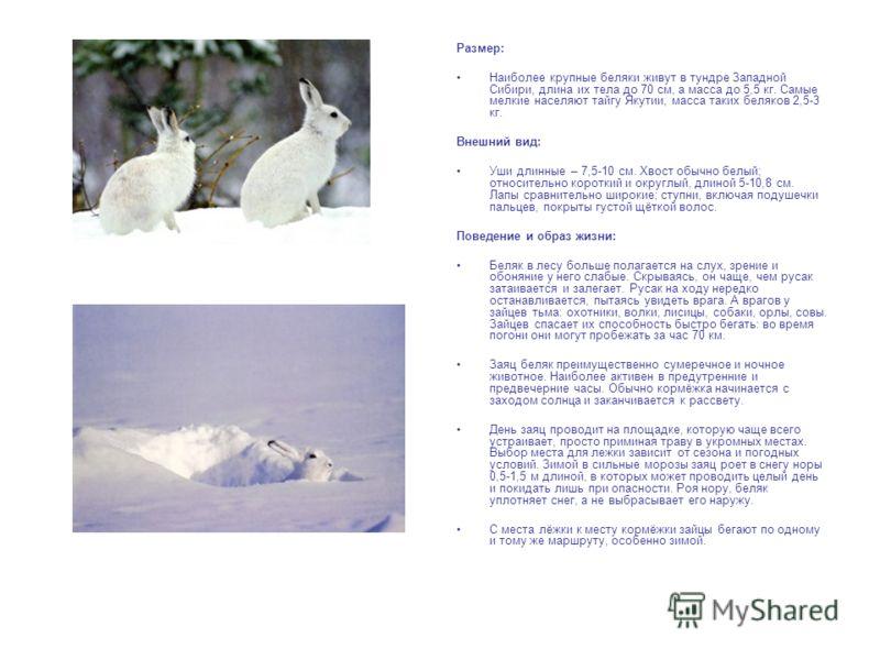 Размер: Наиболее крупные беляки живут в тундре Западной Сибири, длина их тела до 70 см, а масса до 5,5 кг. Самые мелкие населяют тайгу Якутии, масса таких беляков 2,5-3 кг. Внешний вид: Уши длинные – 7,5-10 см. Хвост обычно белый; относительно коротк