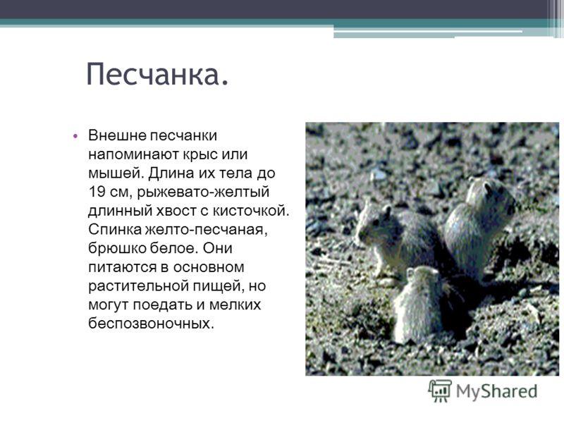 Песчанка. Внешне песчанки напоминают крыс или мышей. Длина их тела до 19 см, рыжевато-желтый длинный хвост с кисточкой. Спинка желто-песчаная, брюшко белое. Они питаются в основном растительной пищей, но могут поедать и мелких беспозвоночных.