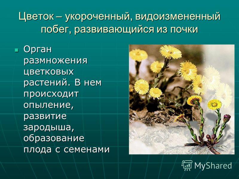 Цветок – укороченный, видоизмененный побег, развивающийся из почки Орган размножения цветковых растений. В нем происходит опыление, развитие зародыша, образование плода с семенами Орган размножения цветковых растений. В нем происходит опыление, разви