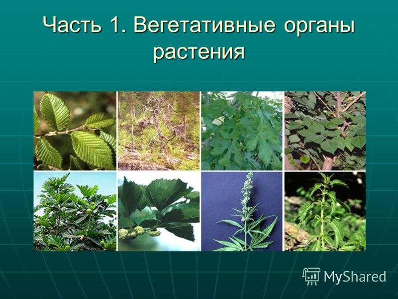 Часть 1. Вегетативные органы растения