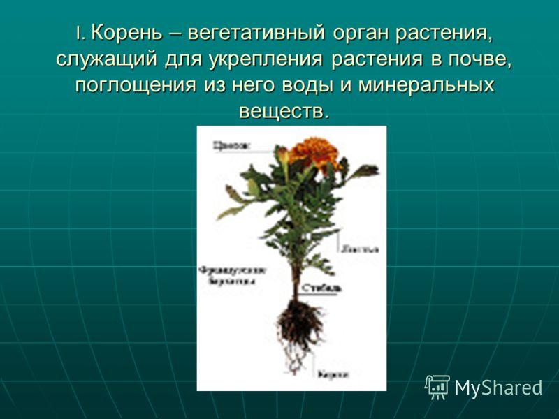 I. Корень – вегетативный орган растения, служащий для укрепления растения в почве, поглощения из него воды и минеральных веществ.
