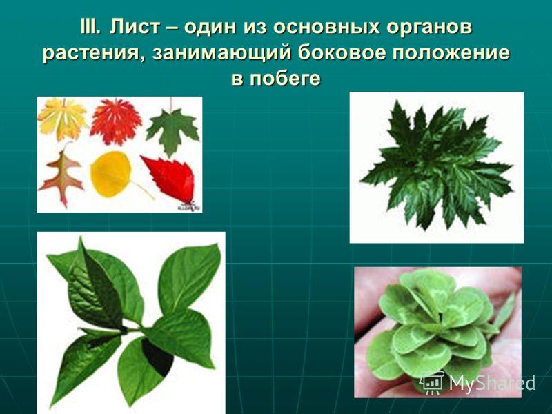 III. Лист – один из основных органов растения, занимающий боковое положение в побеге
