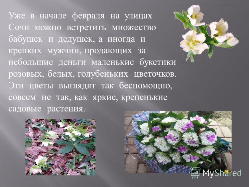Уже в начале февраля на улицах Сочи можно встретить множество бабушек и дедушек, а иногда и крепких мужчин, продающих за небольшие деньги маленькие букетики розовых, белых, голубеньких цветочков. Эти цветы выглядят так беспомощно, совсем не так, как
