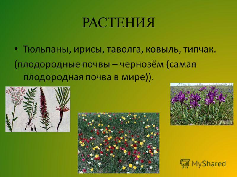 РАСТЕНИЯ Тюльпаны, ирисы, таволга, ковыль, типчак. (плодородные почвы – чернозём (самая плодородная почва в мире)).