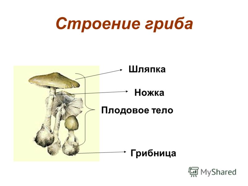 Строение гриба Шляпка Ножка Грибница Плодовое тело