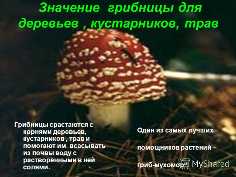 Значение грибницы для деревьев, кустарников, трав. Грибницы срастаются с корнями деревьев, кустарников, трав и помогают им всасывать из почвы воду с растворёнными в ней солями. Один из самых лучших помощников растений – гриб-мухомор