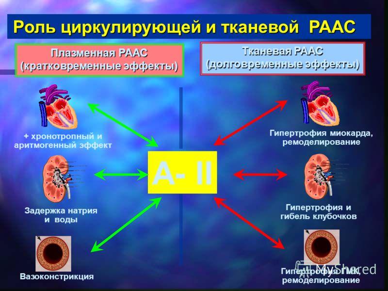 А- II + хронотропный и аритмогенный эффект Задержка натрия и воды Вазоконстрикция Гипертрофия миокарда, ремоделирование Гипертрофия и гибель клубочков Гипертрофия ГМК, ремоделирование Роль циркулирующей и тканевой РААС Плазменная РААС (кратковременны