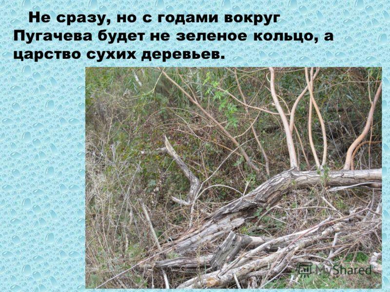 Не сразу, но с годами вокруг Пугачева будет не зеленое кольцо, а царство сухих деревьев.