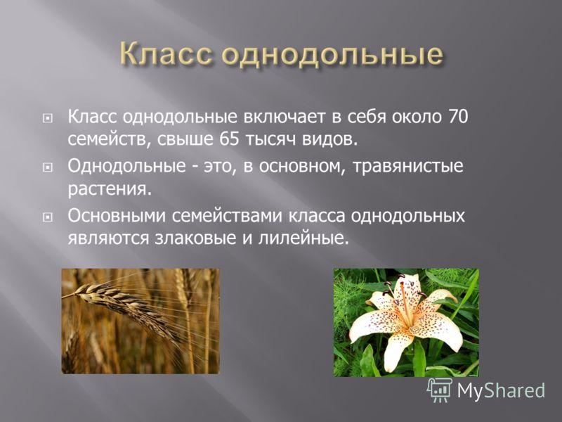 Класс однодольные включает в себя около 70 семейств, свыше 65 тысяч видов. Однодольные - это, в основном, травянистые растения. Основными семействами класса однодольных являются злаковые и лилейные.