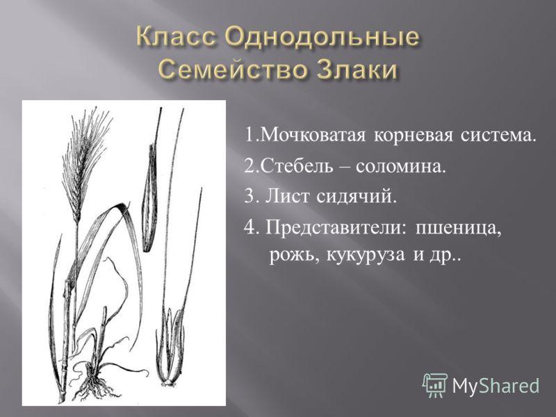 1. Мочковатая корневая система. 2. Стебель – соломина. 3. Лист сидячий. 4. Представители : пшеница, рожь, кукуруза и др..