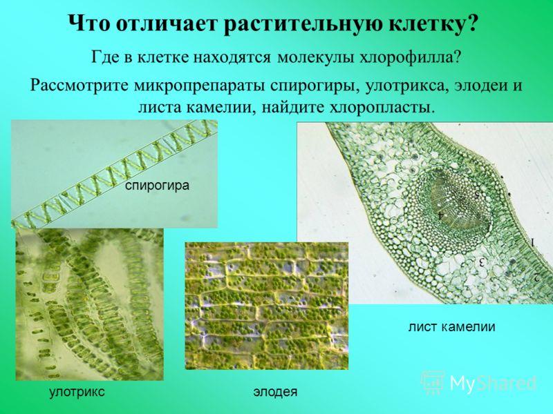 Что отличает растительную клетку? Где в клетке находятся молекулы хлорофилла? Рассмотрите микропрепараты спирогиры, улотрикса, элодеи и листа камелии, найдите хлоропласты. спирогира улотрикс элодея лист камелии
