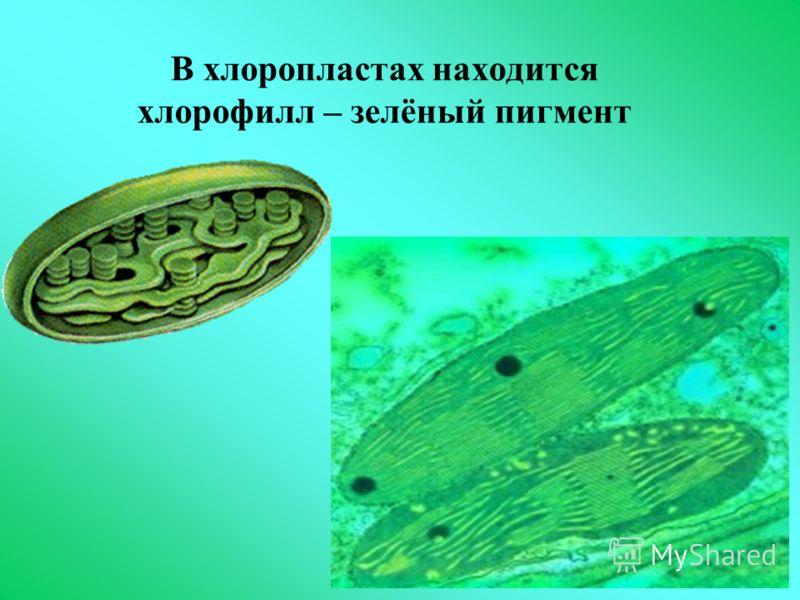 В хлоропластах находится хлорофилл – зелёный пигмент
